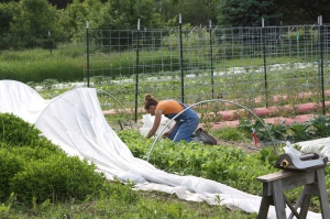 Harvesting the radishes.  We grow them under row cover for pest protection.