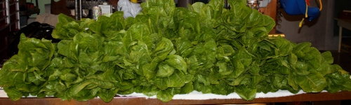 The romaine lettuce triple rinsed and ready to be bagged.