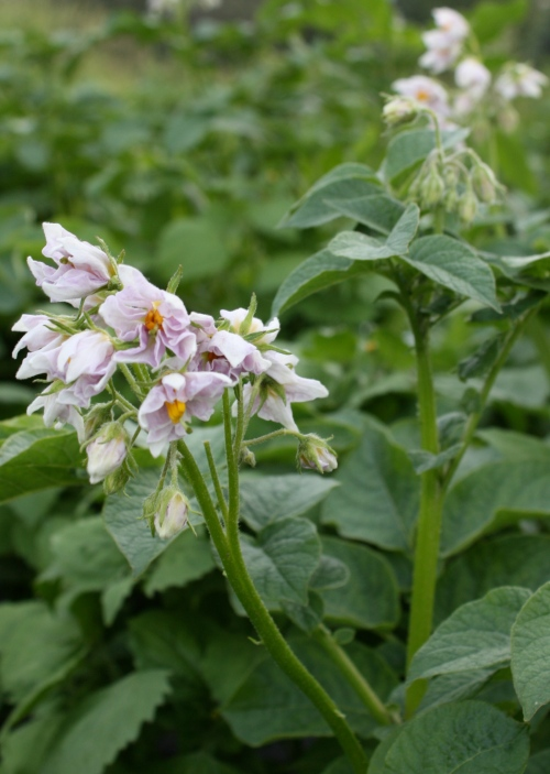 Beautiful Potato Flowers.