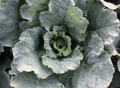 Savoy Cabbage just starting  to head.