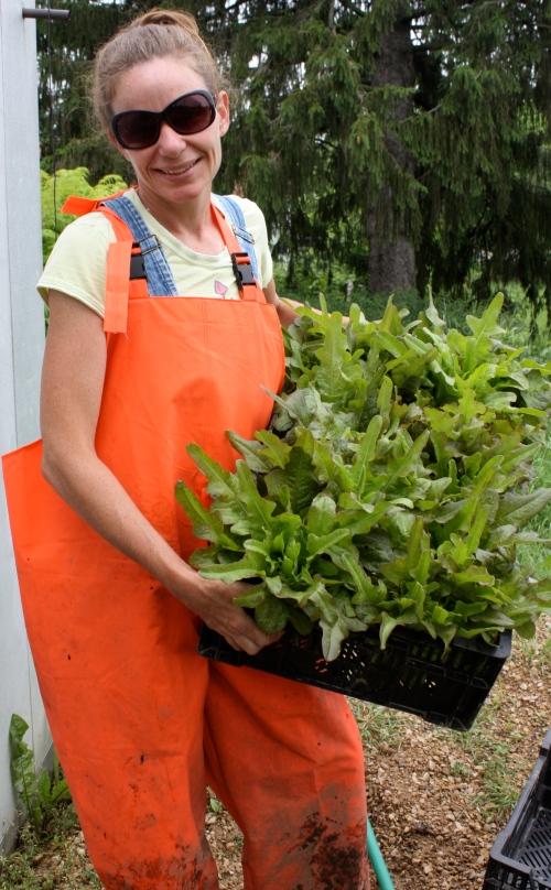 Lettuce Harvest.
