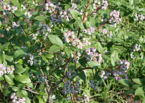 Blueberry Bushes are Loaded and starting to show a blush of color.