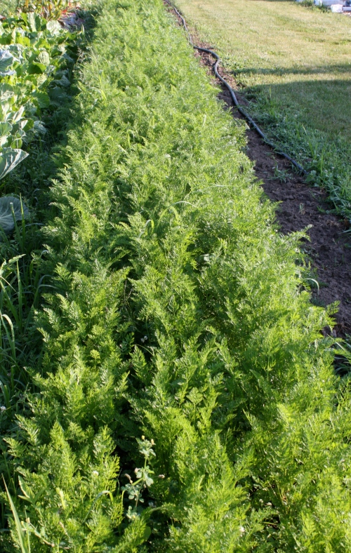 Next week carrot harvest.