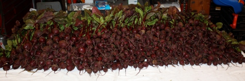 Beets ready to be bundled....over 550!