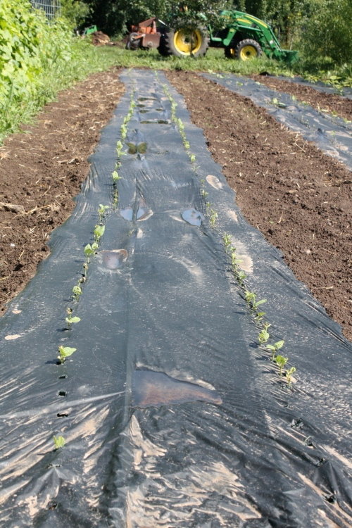 New bean plants geminating in the old pea area....