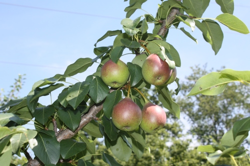 Pears ripening on the trees!