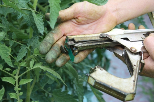 This is a picture from last year. Tying up the tomatoes….This tool is a huge time saver.