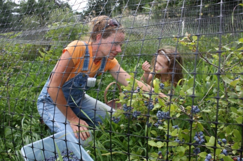"Maeve and Jennifer picking blueberries in the blueberry ""cage""."