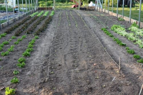 Lettuce garden.  The center isle was planted this week and the leaf lettuce cut this week from the right.