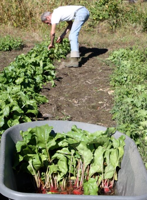 Scott harvesting the beets.