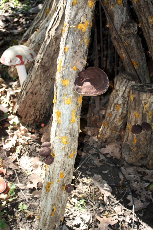 A surprise fruiting again of the Shiitake Mushrooms after the rains this week.