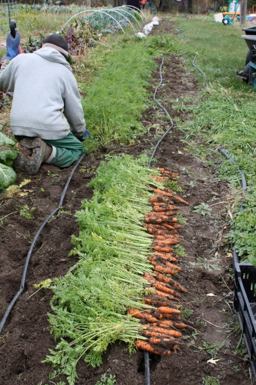 Scott starting the carrot harvest.