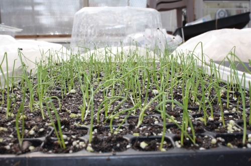 onions sprouting in the greenhouse.