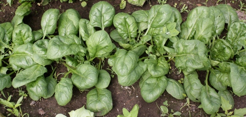 Next week's Spring planted Spinach harvest.