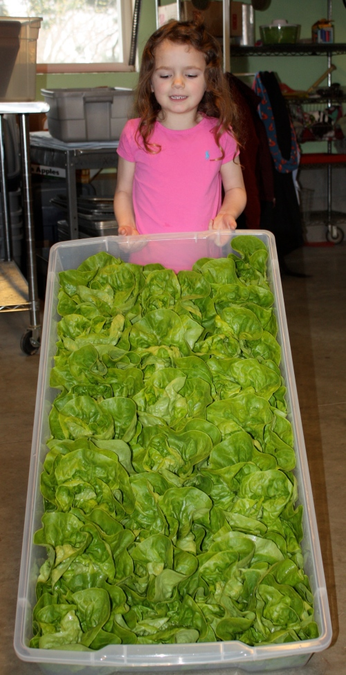Maeve ready to deliver our lettuce to a local restaurant.