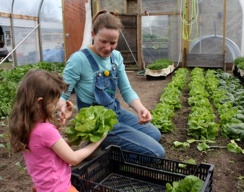 Maeve and Jennifer harvesting head lettuce.