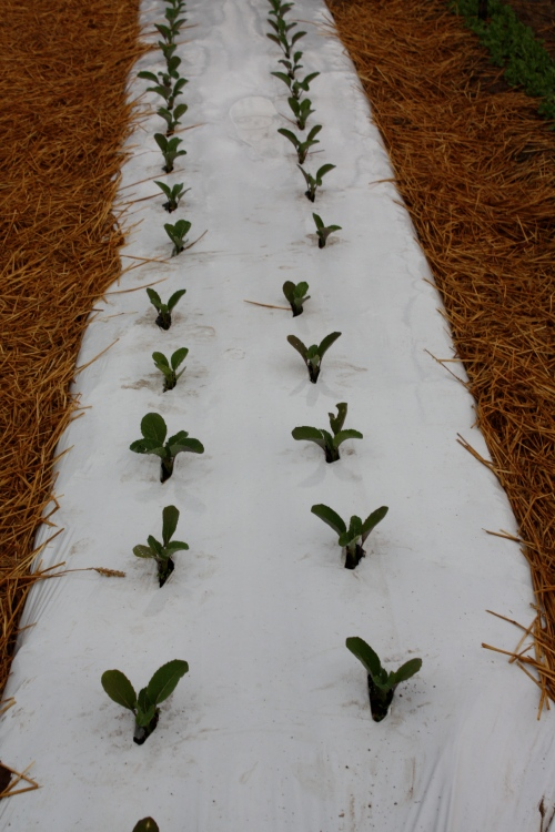 Early Cauliflower planted in white plastic mulch.  We are experimenting this year with 1/2 the crop in white mulch and 1/2 in black mulch and wondering if there are differences in the harvest.