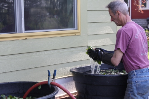 Scott double rinsing the Spinach.
