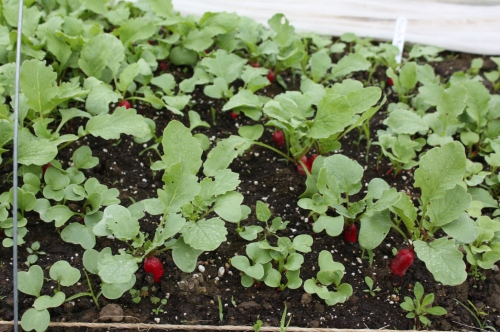 Radishes ready to be picked.