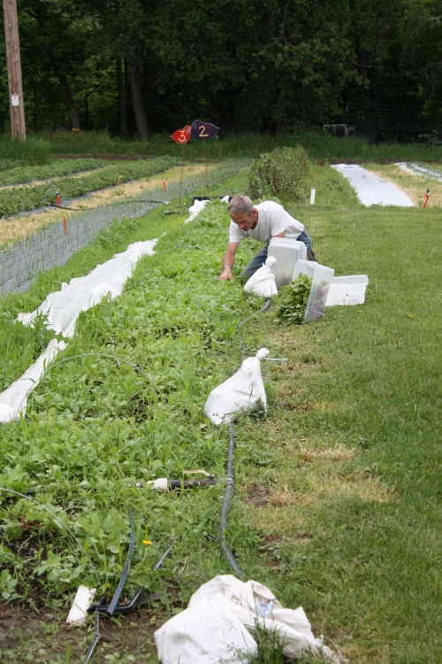 Scott harvesting the radishes.