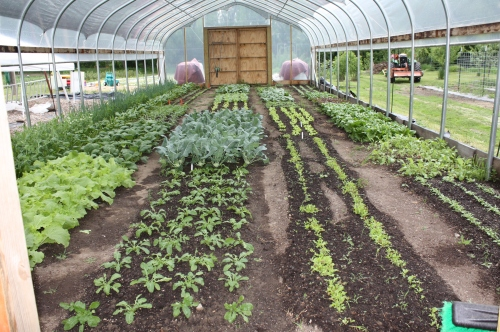 Hoop house crops for future food shares.