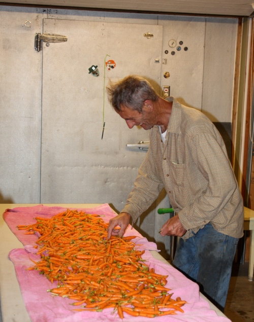 Sorting the washed carrots.