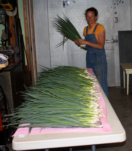 Counting out the green onion harvest.