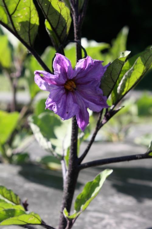 Eggplant blooms.