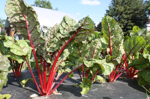 Beautiful Swiss Chard before harvest.