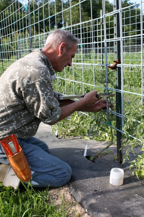 Scott trellising the tomatoes.  He trims the lover branches off for improved air flow and also dips his tools in a fungicide after each plant.