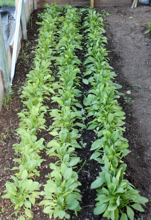 Spinach after harvest.