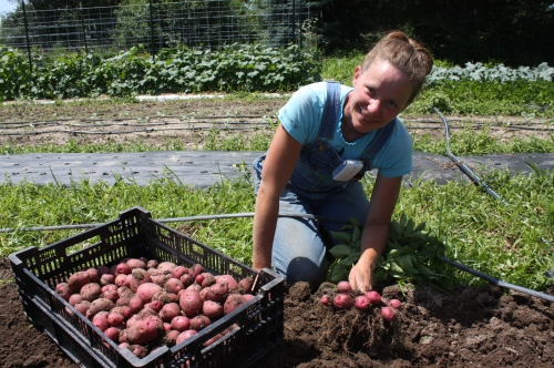 Beautiful and abundant potatoes.
