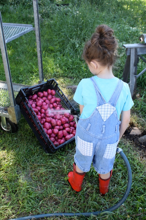 Maeve helped wash the potatoes...