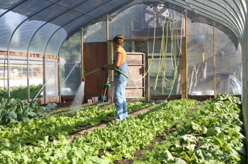Watering in the hoop house crops.
