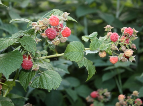 Fantastic raspberry year for us.  The first year the patch is big enough to include them in the share.