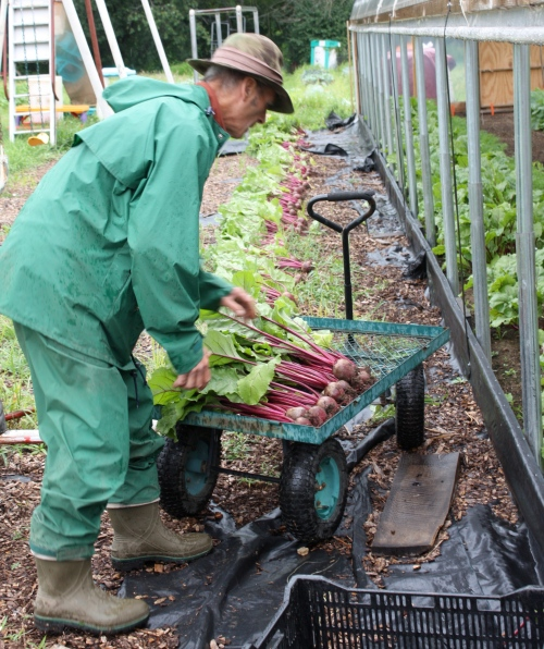 Scott harvesting the beets from the hoop house.