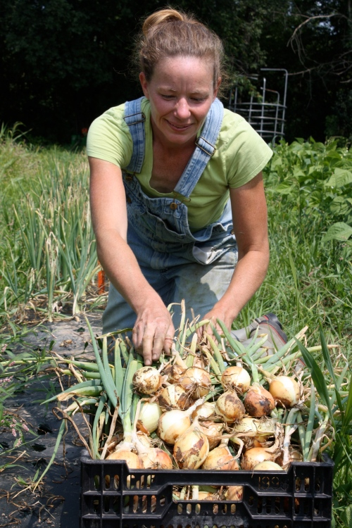 Sweet onion harvest begins.