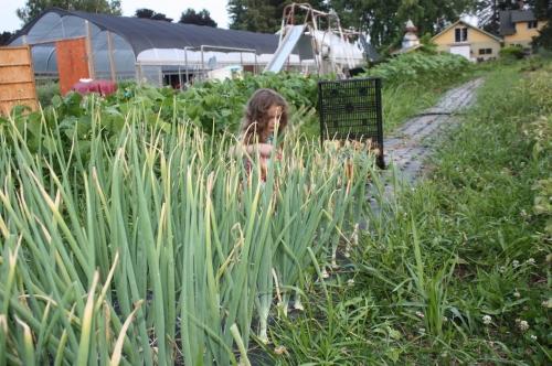 Maeve harvesting storage onions.