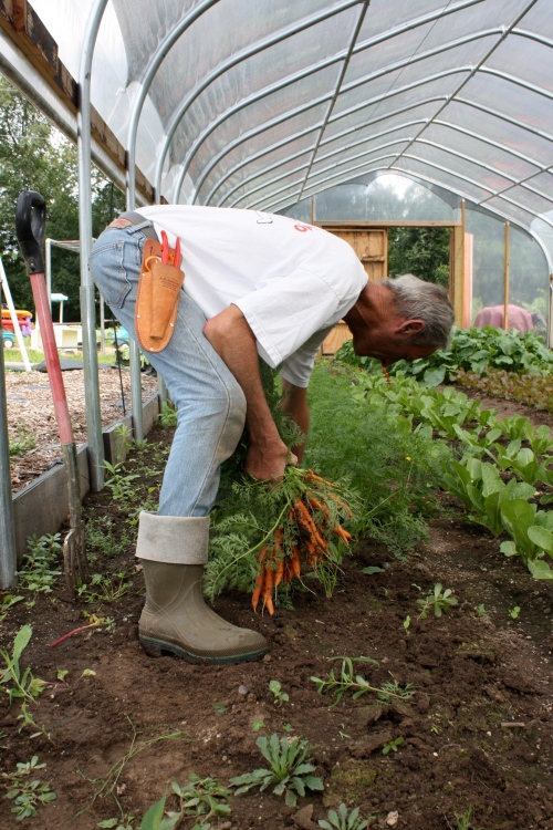 Scott harvesting carrots.