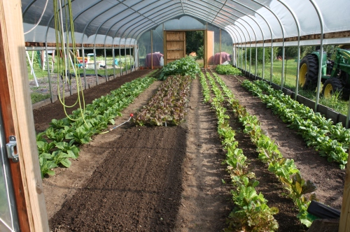 the ever changing hoophouse.  Quick fall crops seeded in on the right and foreground.