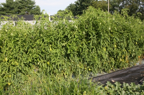 Huge tomato plants.