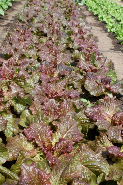The lettuce crop at harvest time.