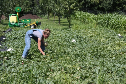Starting the cantalope harvest after daily inspection.  FINALLY! ready.....