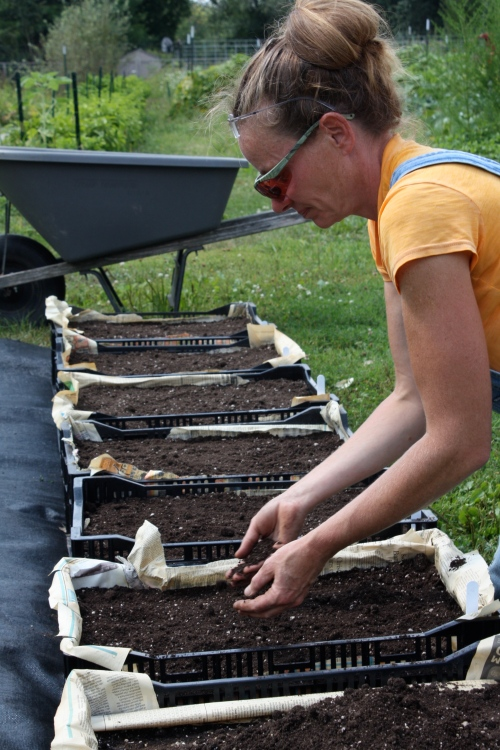 Planting carrots in crates for a late season harvest.  We will move these into the hoophouse when it gets cold and hopefully  have fresh carrots in the snow.