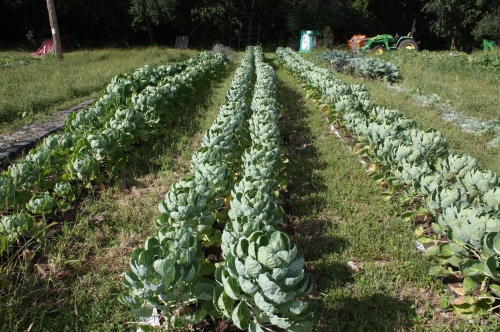 Brussles Sprout rows.