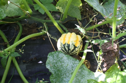 Winter squash on the vine.