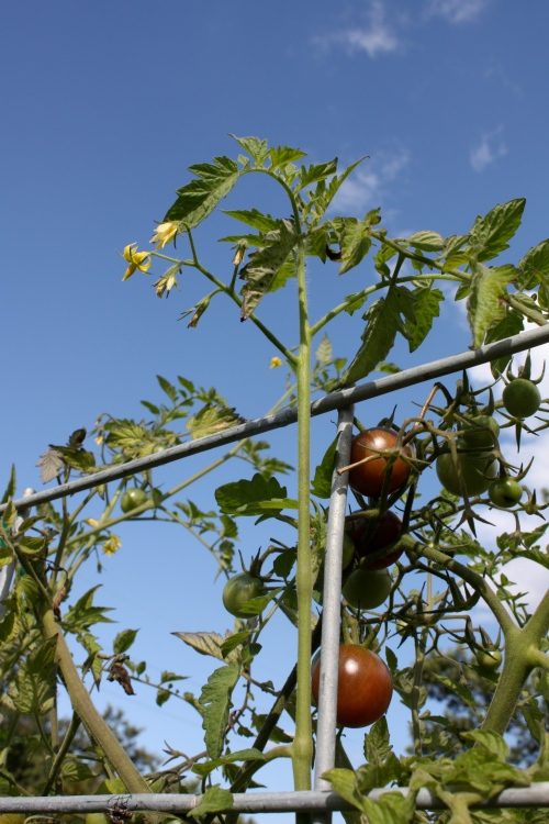 Black Cherries at the top of the trellis.