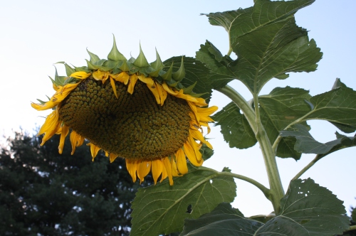 Autumn.  I like to plant a few sunflowers late in the season around the garden for the birds.