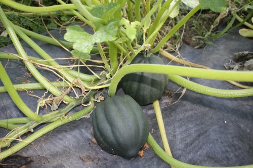 Acorn Squash on the vine.