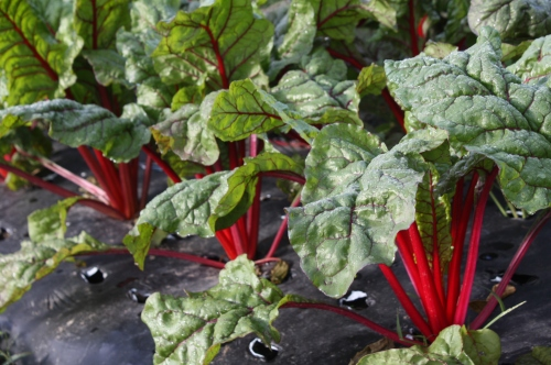 Swiss Chard at harvest time.